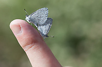 Celastrina e. echo (Pacific Azure) at Grizzly Flat, Angeles NF, Los Angeles Co, CA, USA, on 22-Apr-17
