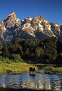 Image of a female moose in a mountainside lake with Mt. Teton in Grand Teton National Park, Wyoming, Pacific Northwest