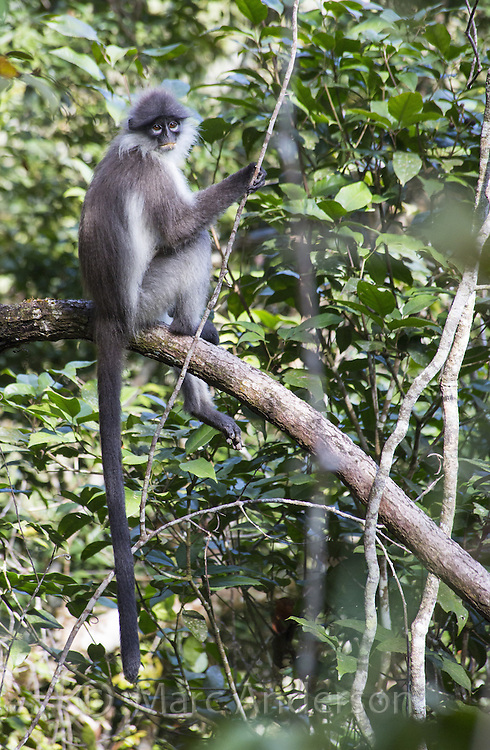 Banded Langur (Presbytis femoralis), Fraser's Hill, Malaysia