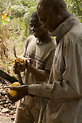 Farm workers use machetes to crack cocoa pods open on a farm in the town of Assin Adadientem, roughly 100km west of Ghana's capital Accra on Sat. January 21, 2007. The seeds will then be wrapped in banana leaves and left to ferment for six days before being sun-dried.