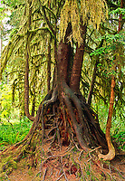 "A ""Stilt Tree"" The roots of this hemlock tree grew around a nurse log, which is a fallen tree that provided minerals and moisture for new trees and plants.  As the nurse log rotted away the large roots of the new tree are exposed showing a stilt effect.  How Rain Forest, Olympic National Park, Washington."