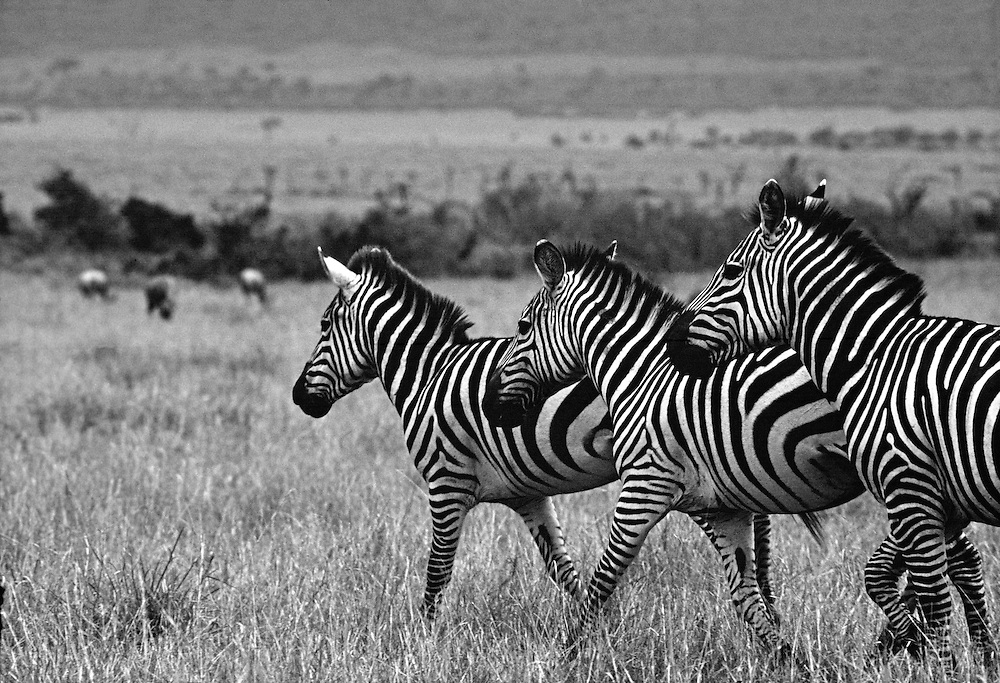 Zebras, Tsavo East National Park, Kenya