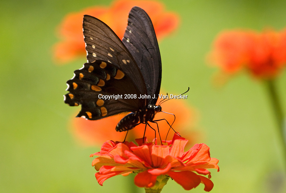 Black Swallowtail Butterfly, Papilio polyxenes, on red zenia flower
