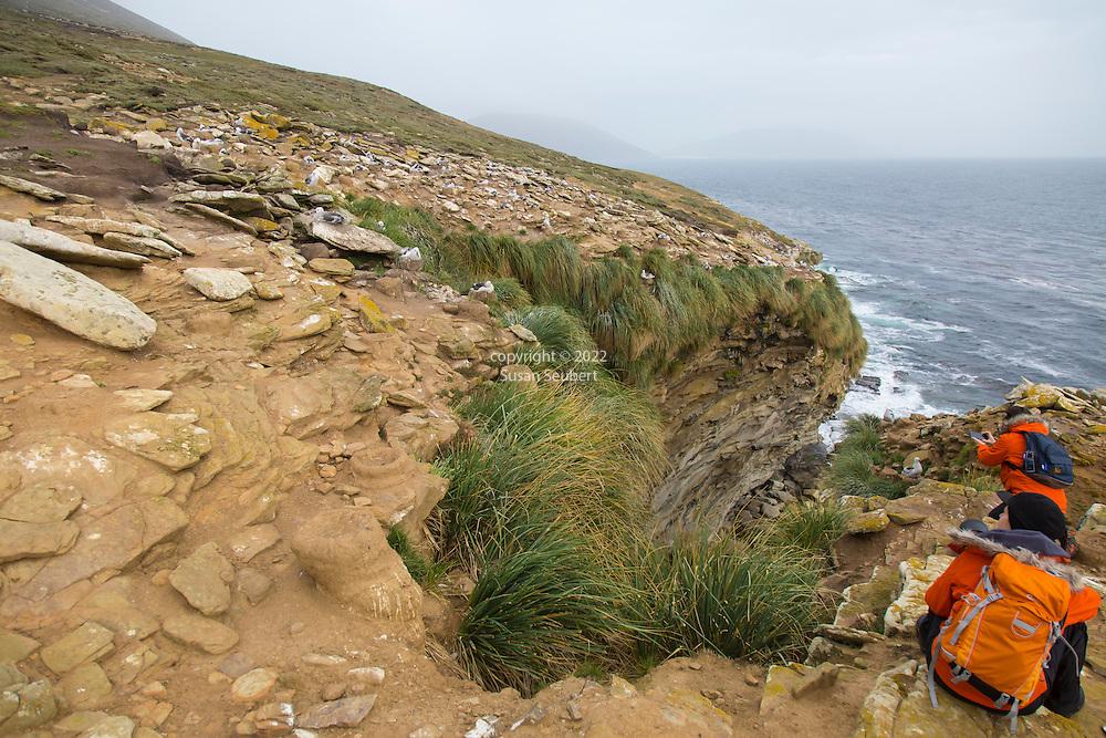 A nesting colony of Black Browed Albatross on Saunders Island, Falkland Islands
