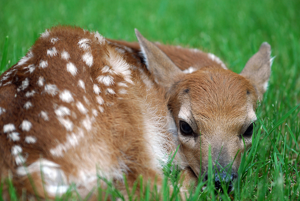 For the first few weeks of their life, white-tailed deer fawns remain hidden and motionless in an attempt to deter wily predators like bears, foxes and coyotes.