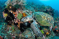A Hawskbill Sea Turtle searches for a tasty morsel among soft corals and crinoids.<br /> <br /> Shot in Indonesia