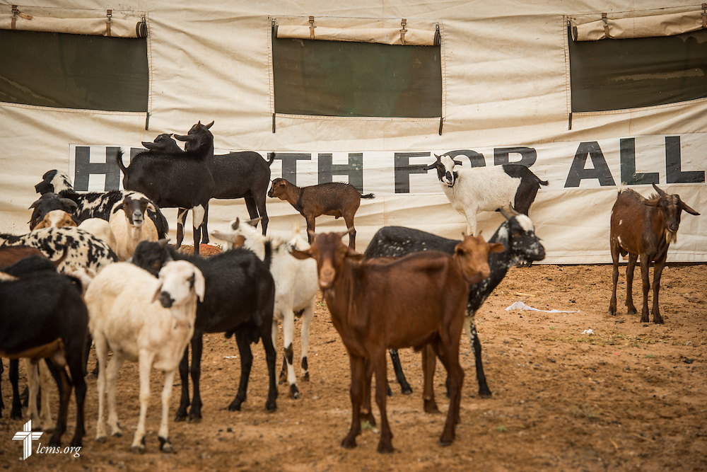 Goats congregate at the LCMS Mercy Medical Team on Tuesday, June 21, 2016, in Nataparkakono, a village in Turkana, Kenya.  LCMS Communications/Erik M. Lunsford