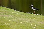 Pied Stilt, New Zealand