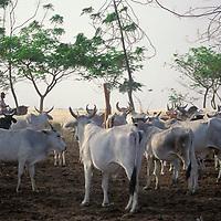Llanero a caballo arreando ganado por los médanos de Apure, Venezuela.