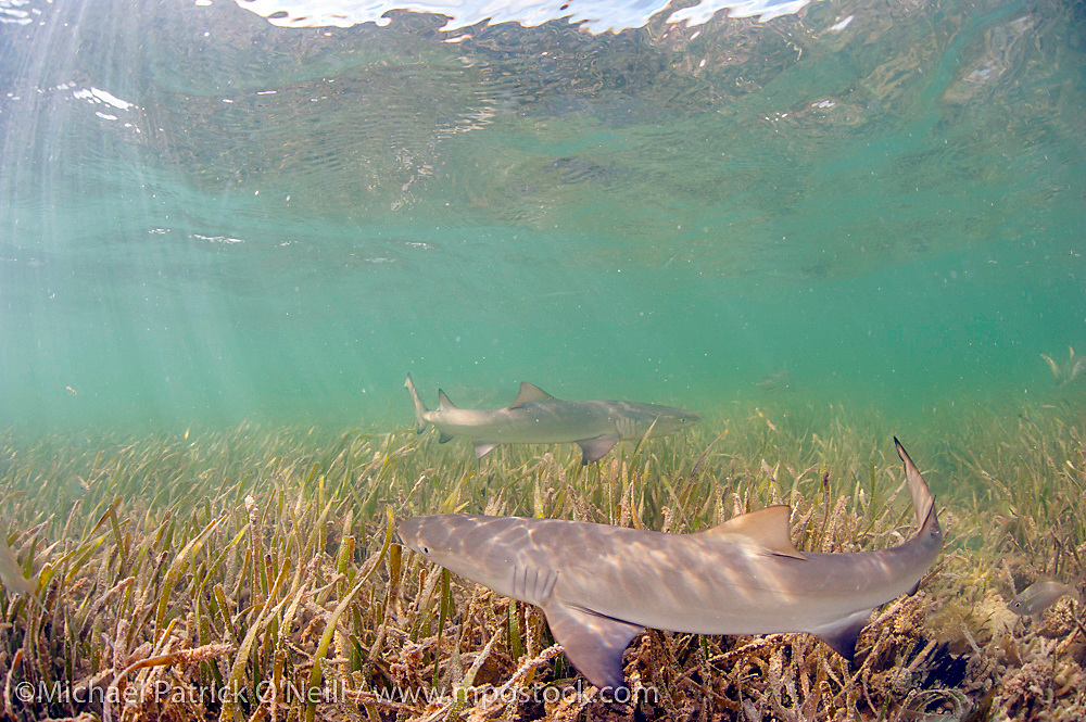 Lemon Shark Pup, Negaprion brevirostris, swims over sea grass in Florida Bay, Everglades National Park, Florida, United States.