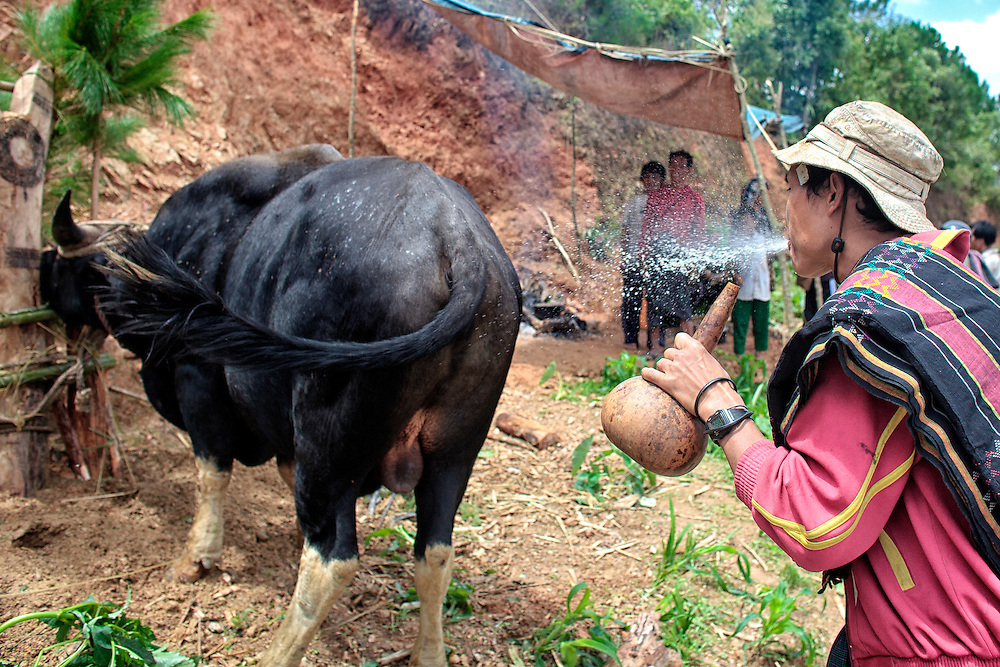 A Christian Catholic man spit out over a wild ox during  a special ceremony where they offer an animal sacrifice to Jesus Christ to chase away bad spirits in Mindat, Chin state, Myanmar, Friday, 31 May 2013. Chin Christian Catholic people mix their ancient pagan practices with the Christian faith.
