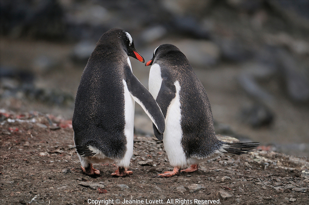 Two courting gentoo penguins touching flippers like they were holding hands.