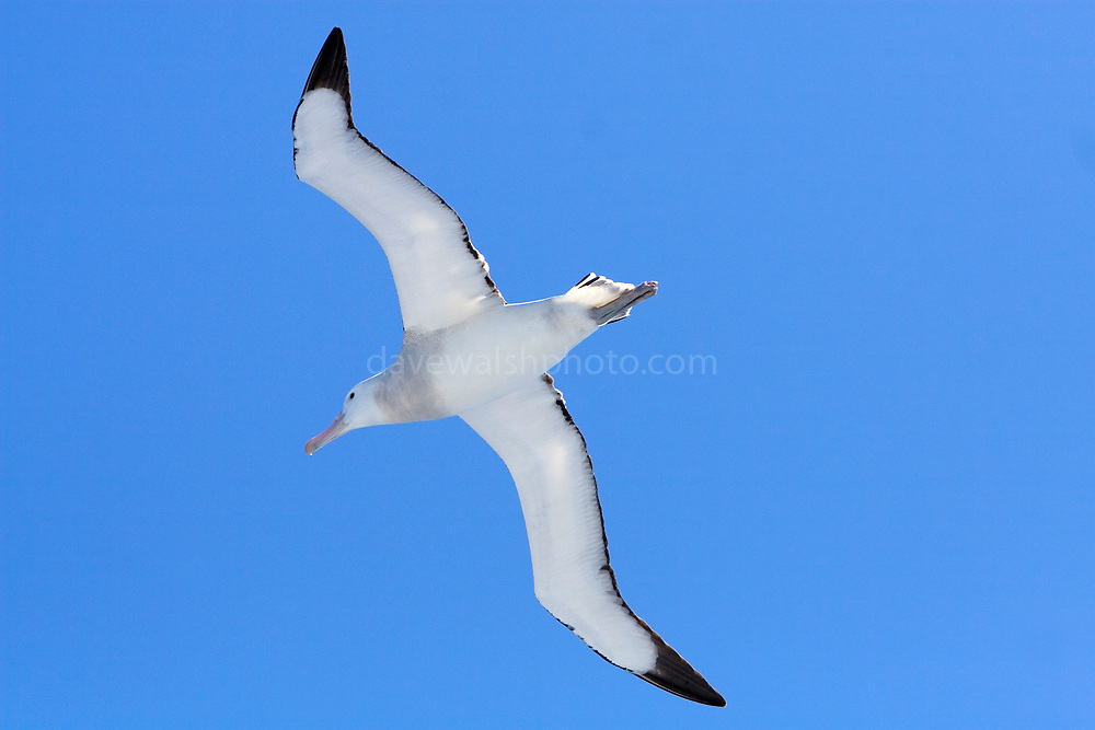 Diomedea epomophora, Royal Albatross, Southern Ocean.  The albatrosses fly thousands of miles across the oceans To do this, they can lock their wings and place, and glide, rather than fly. And their heart rate is barely above resting when gliding..