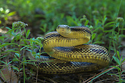 Yellow Rat Snake (Elaphe obsoleta quadrivittata)<br /> Little St Simon's Island, Barrier Islands, Georgia<br /> USA<br /> RANGE: Southeastern United States