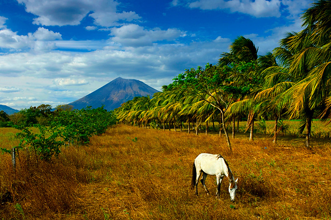 Grazing white horse in field lined by palm trees with Nicaragua's largest volcano in the background, the very active San Cristobal Volcano.