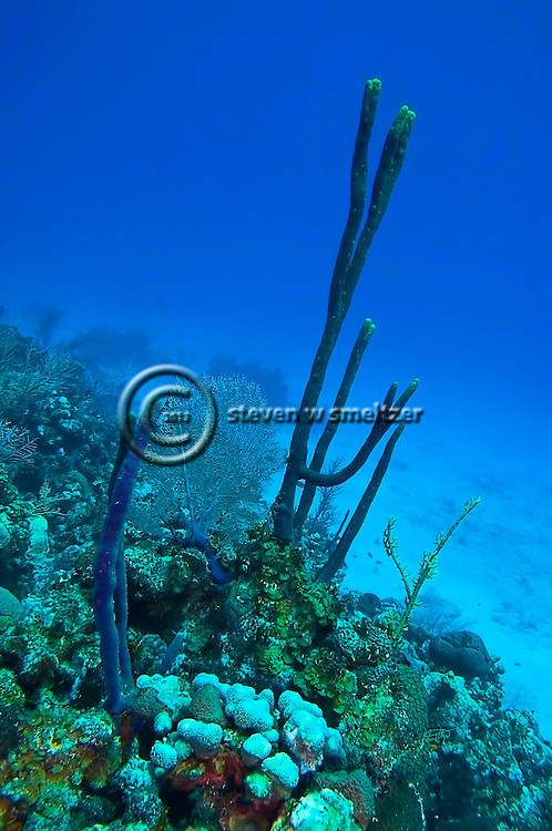 Row Pore Rope Sponge, Aplysina cauliformis, Grand Cayman