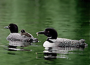 common loon family on highland lake, bridgton,maine.  we were able to follow the a couple hours each early moning for 3 days.They were very comfortable with our presence. no property release