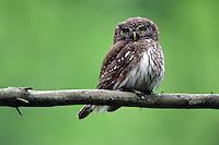 Pygmy Owl (Glaucidium passerinum), the Carpathians; Carpathian Mountains; Bieszczady Mountains; Poland
