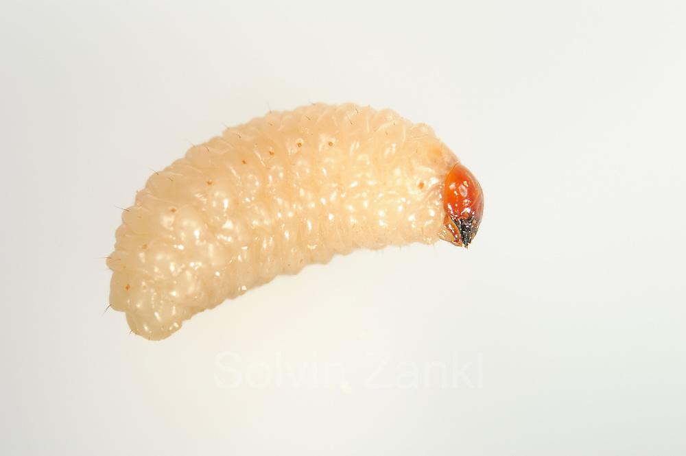 [captive] Acorn weevil (Curculio glandium) , The Biosphere Reserve 'Niedersächsische Elbtalaue' (Lower Saxonian Elbe Valley), Germany | Die etwa einen Zentimeter lange Larve des Gewöhnlichen Eichelbohrers (Curculio glandium) verläßt die herabgefallene Eichel, von der sie sich seit ihrem Schlupf ernährt hat. Die Made wird sich etwa 25 cm tief ins Erdreich eingraben und in einer kleinen Kammer überwintern. Dort verpuppt sie sich im Frühling, um dann im Mai/Juni als erwachsener Käfer aus der Erde zu krabbeln.
