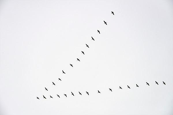 Nederland, Ubbergen, 28-12-2012Een groep ganzen vliegt in v-formatie door de lucht.Foto: Flip Franssen/Hollandse Hoogte