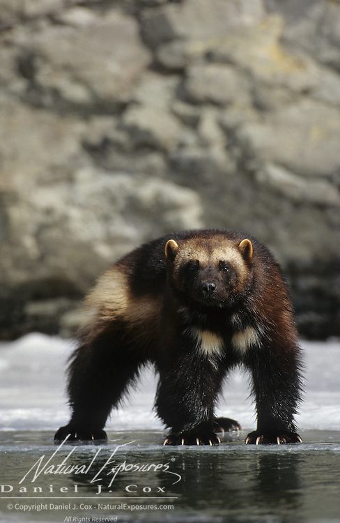 Wolverine adult on a frozen river during the winter in the Rocky Mountains of Montana. Captive Animal