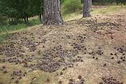 Scots pine cones on the ground beneath conifer trees, Rendlesham forest, Suffolk, England