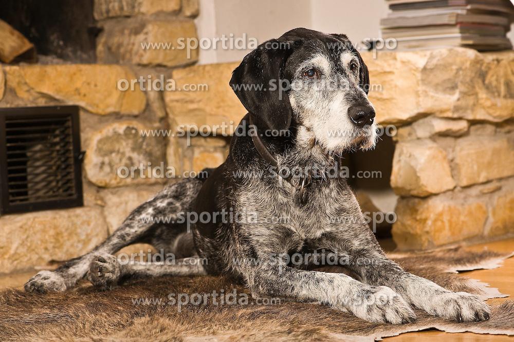 THEMENBILD - Der Deutsch Drahthaar ist eine Variante des deutschen rauhaarigen Vorstehhundes, der Ende des 19. Jahrhunderts gez&uuml;chtet wurde, im Bild alter Jagdhund // The German Wirehaired Pointer is a variant of German wire-haired pointing dog that was bred end of the 19th century, pictured in Stuttgart, Germany on 2015/03/02. EXPA Pictures &copy; 2015, PhotoCredit: EXPA/ Eibner-Pressefoto/ EXPA/ Baumann<br /> <br /> *****ATTENTION - OUT of GER*****