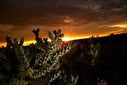 Cholla cactus grow under a monsoon sky in the Sonoran Desert, Catalina, Arizona, USA.