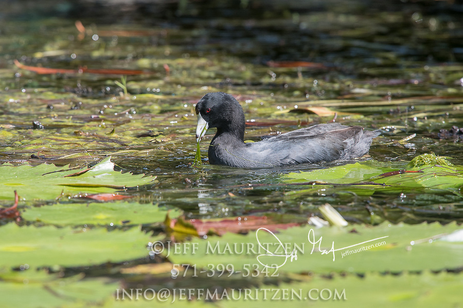 An American coot swims through lily pads in search of food.