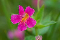 Mimulus lewisii, Purple Monkeyflower and Athyrium americanum (Butters) Maxon, alpine ladyfern North Cascades Washington USA