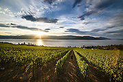 Walking through the vineyard at Cedar Creek Estate Winery, Kelowna, BC