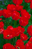 Switzerland. Springtime. Close-up of a field of red tulips.