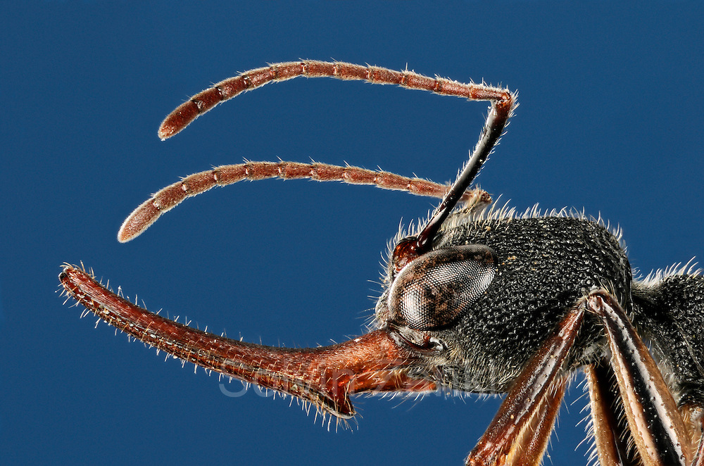 [Digital focus stacking] Harpegnathos venator