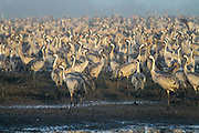 Grey Cranes (Grus grus) Photographed at the Agamon lake, Hula Valley, Israel, winter January