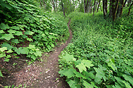 Thimbleberry (Rubus parviflorus) and Stinging Nettles (Urtica dioica) make up the majority of the thick layer of foliage along a trail at Hillkeep Regiona Park in Chilliwack, British Columbia, Canada. The nettles make this a good trail for long sleeves and pants!