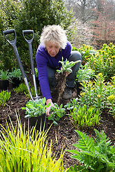 Carol Klein dividing a rudbeckia whilst planting out summer flowering plants into a gap in the border. Achillea 'Fanal' syn. 'The Beacon', Rudbeckia fulgida var. deamii, Iris pseudacorus and rheum