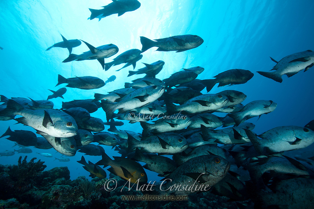 The amazingly clear water of Palau gives the water a vast range of blues. A school of black snapper swims by, Palau Micronesia. (Photo by Matt Considine - Images of Asia Collection)