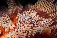 Zebra Crab perched on a Fire Urchin<br /> <br /> Shot in Indonesia