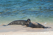 Hawaiian monk seals, Monachus schauinslandi, Critically Endangered endemic species, a 7-year-old male (RI11) with sand on the back, greets a female (R318) arriving at Beach 4 on west end of Molokai, Hawaii ( Central Pacific Ocean )