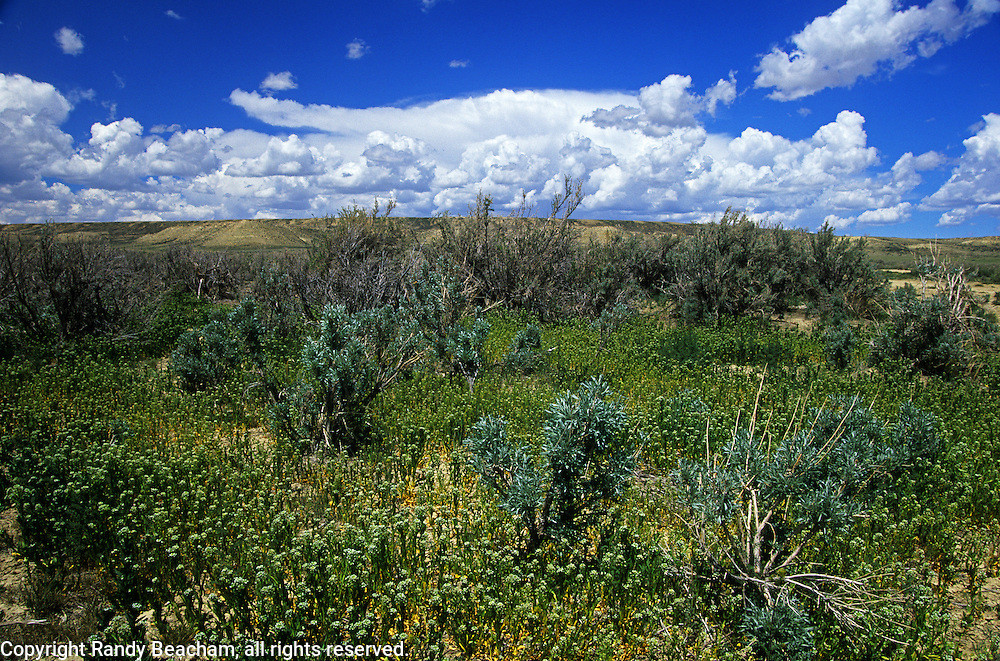 Big sagebrush and wildflowers at Alkali Draw Wilderness Study Area in spring. Red Desert in the Great Divide Basin, Wyoming