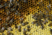 After wintering in the shadows of the Continental Divide, the bee colony rebuilds itself.A queen bee can lay hundreds of eggs every day. By peak pollen days, some 30,000 bees will buzz into action.