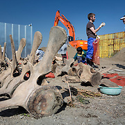 Scientists, students and volunteers engaged in cleaning the bones of an 18-meter long female fin whale (Balaenoptera physalus) that was found floating in Tokyo harbor in early 2012 and buried for about 16 months to facilitate decomposition. Even with the passage of so much time, there was still significant soft tissue and a power odor. Vertebrae of the middle part of the whale are pictured here.