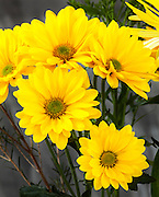 WA11662-00...WASHINGTON - Yellow daisy flowers.