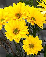 WA11662-00...WASHINGTON - Yellow daisy flowers.