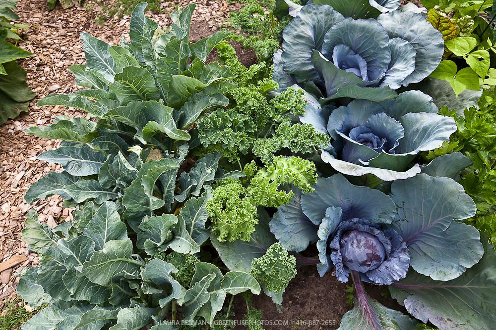 Cauliflower, kale and purple cabbage in a kitchen garden.