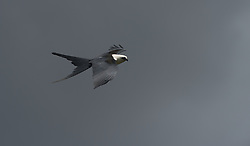 Swallow-tailed Kite (Elanoides forficatus) in Ecuador