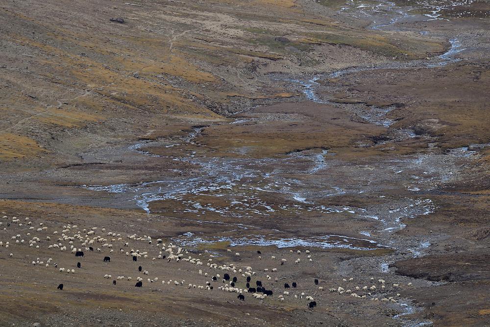 Sheep and domestic yaks, Tibetan Plateau, Qinghai, China