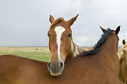Horse resting it's head on the back of another horse