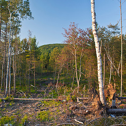 A recently logged area on the lower slopes of Black Mountain in Sutton, New Hampshire.  White Pines.