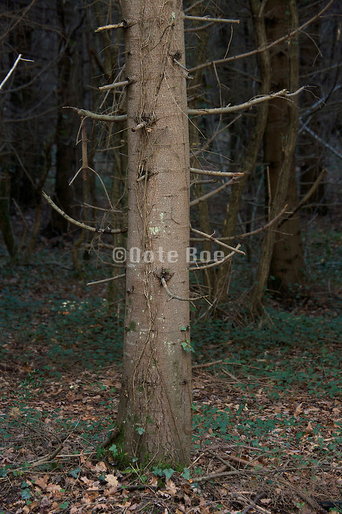 close up of pine tree trunk and twigs